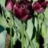 Tulipa 'Black Hero' -- Tulpe 'Black Hero'