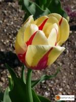 Tulipa Burning Heart