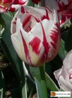 Tulipa Carnaval de Nice