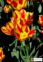 Tulipa Colour Spectacle