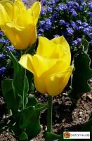 Tulipa Golden Brigitta