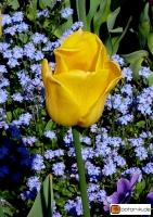 Tulipa Golden Melody