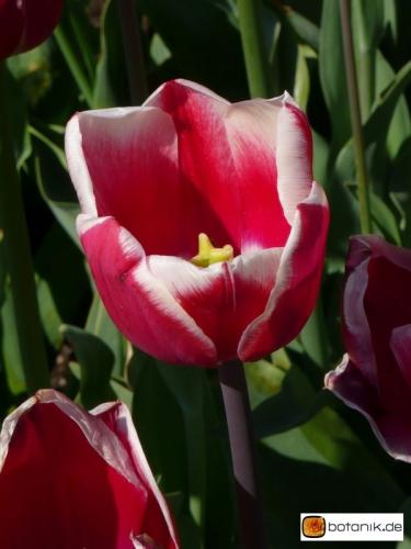 Tulipa Lucky Strike