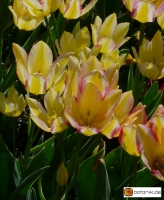 Tulipa Marienthal