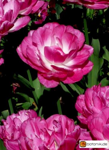 Tulipa May Wonder