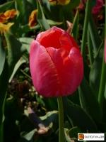Tulipa Menton