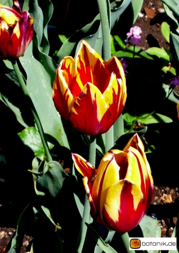 Tulipa Mickey Mouse