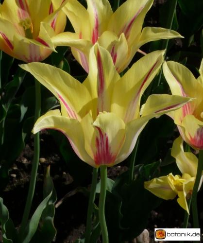Tulipa Moonshine