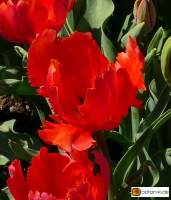 Tulipa Orange Favourite