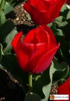 Tulipa Oscar