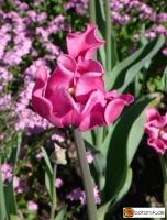 Tulipa Picture