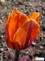 Tulipa Prinses Irene