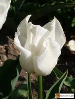 Tulipa Top White