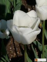 Tulipa White Dream