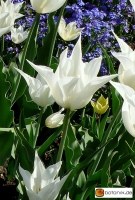 Tulipa 'White Triumphator' -- Lilienblütige Tulpe