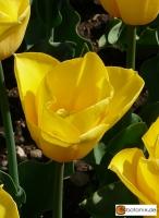 Tulipa Yellow Flight
