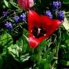 Tulipa didieri