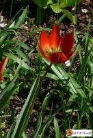 Tulipa whittalii --
