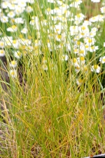 Hierochloe odorata -- Vanillengras