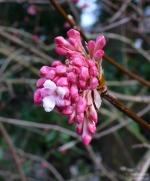 Viburnum bodnantense 'Dawn' -- Bodnant Schneeball