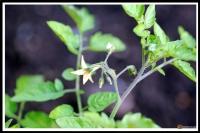 Lycopersicon pimpinellifolium -- Wildtomate