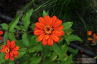 Zinnia angustifolia 'Profusion Orange'