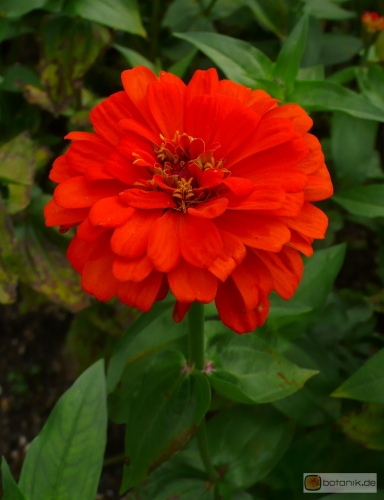 Zinnia violacea Orange