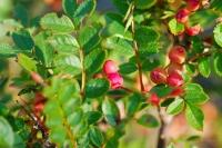 Sorbus reducta -- Zwerg-Mehlbeere