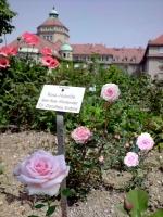 """Floribunda Rose """"Dr.Dorothea Endres"""""""