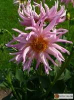 Kaktus Dahlie Stars Favorite