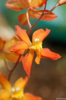x Odontioda rosefieldensis